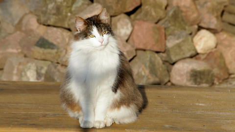Norwegian forest cat watching 2 Stock Video Footage