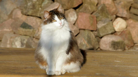 Norwegian forest cat watching 2 Footage