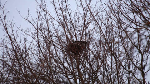 Crow hatching in the nest Stock Video Footage