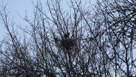 Crow hatching in the nest 3 Stock Video Footage