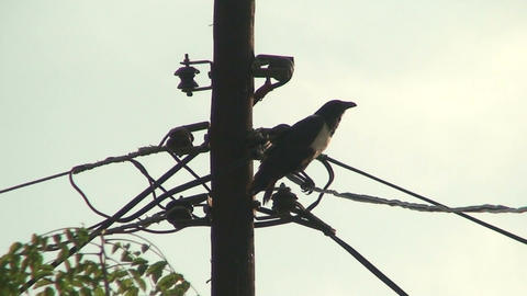 Malawi: crow on old fashioned electric pole Footage