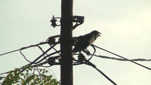 Malawi: crow on old fashioned electric pole Stock Video Footage