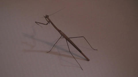 Malawi: praying mantis at sunset Footage