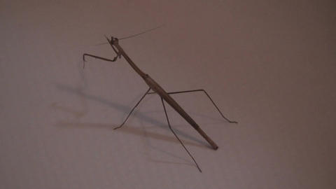 Malawi: praying mantis at sunset Stock Video Footage