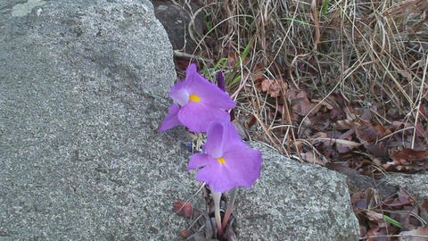 Malawi: violet flower blooming in a rock crack Stock Video Footage