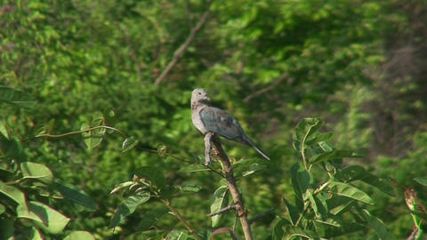 Malawi: rocky dove on a tree Stock Video Footage