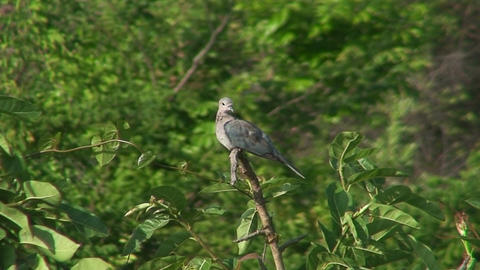 Malawi: rocky dove on a tree Live Action