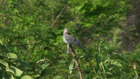 Malawi: rocky dove on a tree Stock Video Footage