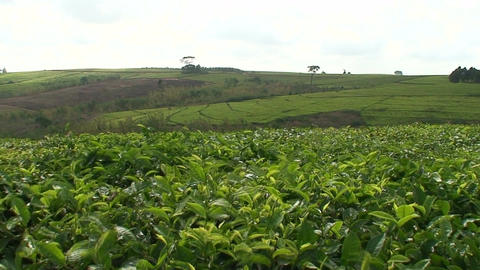 Malawi: tea plantation on a hill slope Stock Video Footage