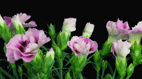 Time-lapse of growing pink (Dianthus) flower with alpha... Stock Video Footage
