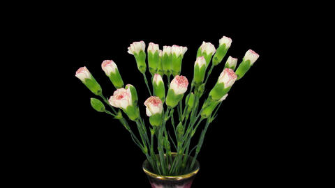Time-lapse of growing pink white Dianthus flower 1 Stock Video Footage