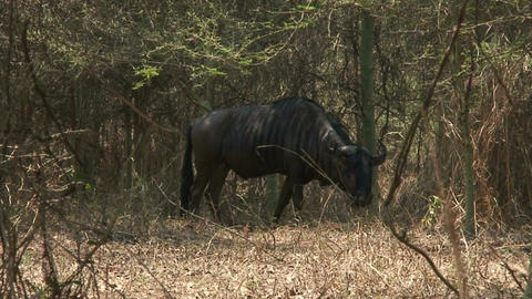 Malawi: blue devil in a wild 2 Footage