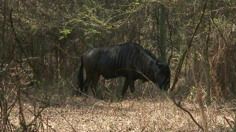 Malawi: blue devil in a wild 2 Stock Video Footage
