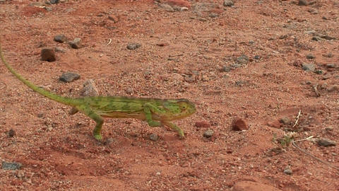 Malawi: chameleon walking in a wild 1 (part A) Stock Video Footage