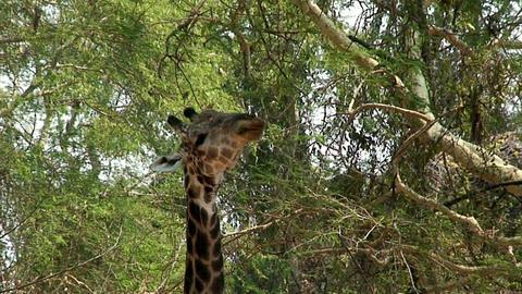 Malawi: giraffe in a wild 1 Footage