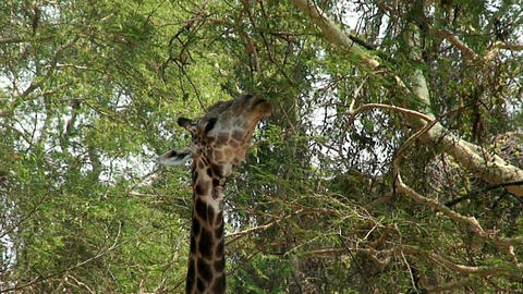 Malawi: giraffe in a wild 1 Stock Video Footage