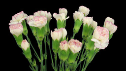 Time-lapse of growing pink white Dianthus flower 3b Stock Video Footage