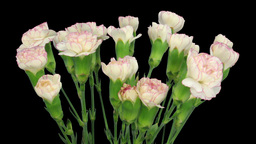 Time-lapse of growing pink white Dianthus flower 3b Footage