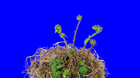 Time-lapse of growing baby fern plants 5ck blue chroma keyed Stock Video Footage