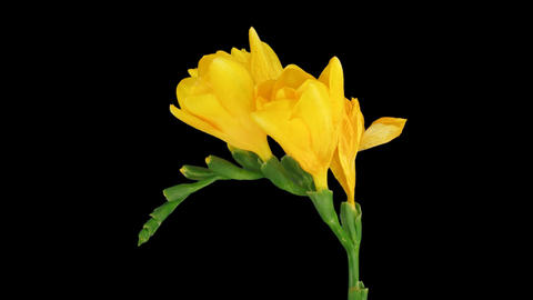Time-lapse of opening yellow freesia flower 2 (DCI-2K) GIF