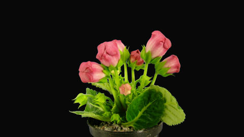 Time-lapse of red gloxinia flower opening 1 with alpha matte Stock Video Footage