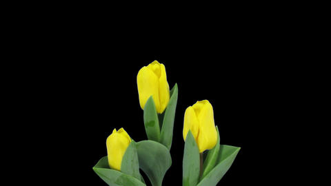 Time-lapse of growing yellow tulip in a pot 11 (DCI-2K) Stock Video Footage