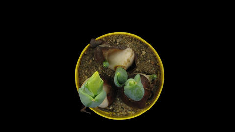 Time-lapse growing yellow tulip pot with ALPHA matte 6 top Stock Video Footage
