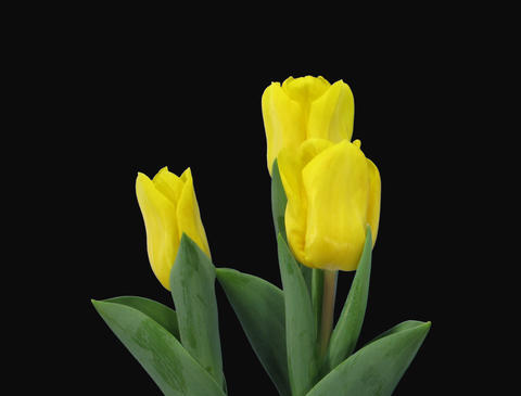 Time-lapse of growing yellow tulip in a pot 9 (Film 2K) Stock Video Footage