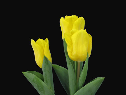 Time-lapse of growing yellow tulip in a pot 9 (Film 2K) Footage