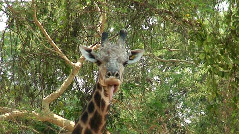 Malawi: giraffe in a wild 4 Stock Video Footage