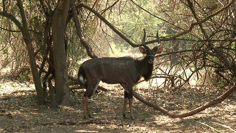 Malawi: nyala in a wild Stock Video Footage