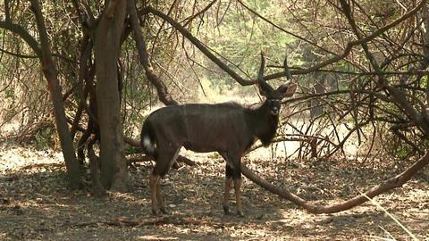 Malawi: nyala in a wild Stock Video Footage