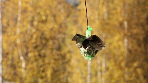 Feeding sparrow 4 Stock Video Footage