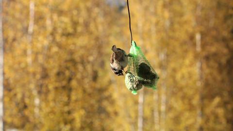Feeding sparrow 5 Stock Video Footage