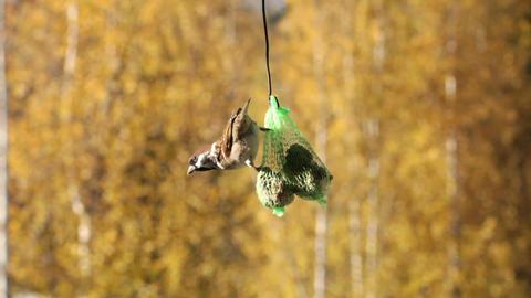 Feeding sparrow 5 Footage