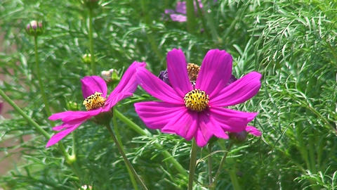 Malawi: cosmos flower 3 Stock Video Footage