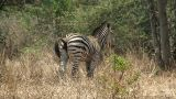 Malawi: Zebra In A Wild 1 stock footage