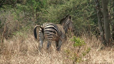 Malawi: zebra in a wild 1 Footage