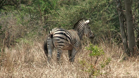 Malawi: zebra in a wild 1 Stock Video Footage