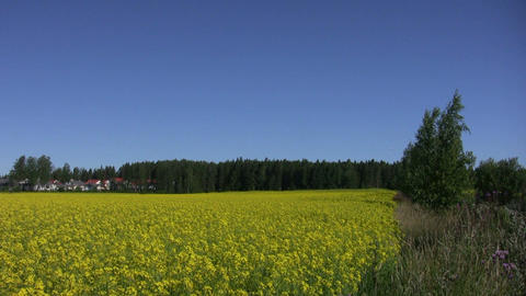 Field of rapeseed plants 5 Stock Video Footage