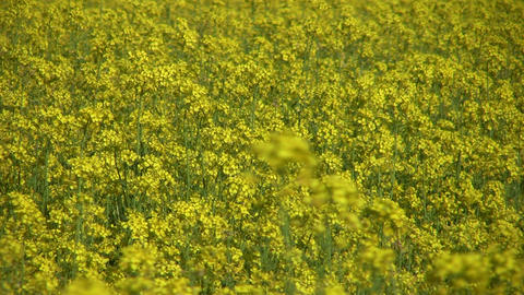 Field of rapeseed plants 7 Footage