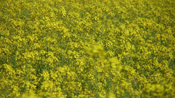 Field of rapeseed plants 7 Stock Video Footage