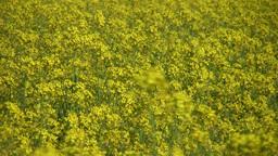 Field of rapeseed plants 7 Stock Video Footage