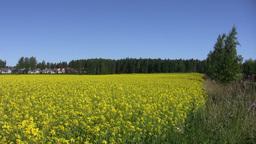 Field of rapeseed plants 1 Stock Video Footage