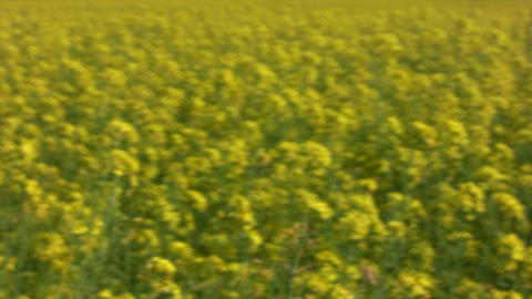 Field of rapeseed plants 3 Stock Video Footage