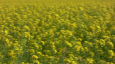 Field of rapeseed plants 3 Footage