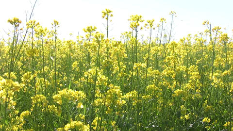 Field of rapeseed plants 4 Stock Video Footage