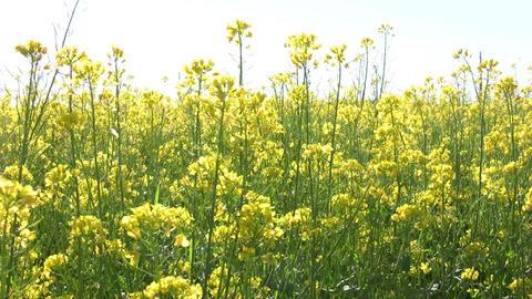 Field of rapeseed plants 4 Stock Video Footage