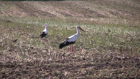 Two storks in a harvested field Stock Video Footage