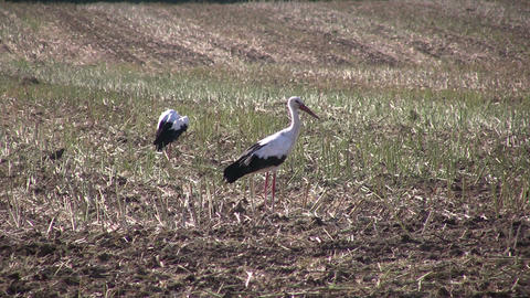 Two storks in a harvested field Footage